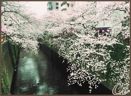 桜2のコピー