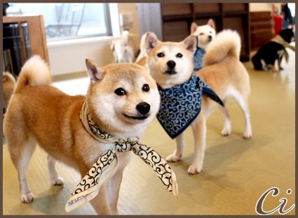 柴犬のコピー
